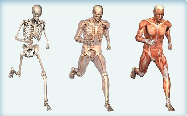 musculoskeletal running man