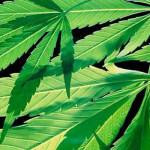 cannabis_leaves