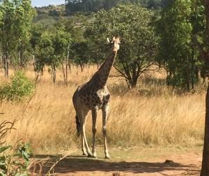 ajpp_giraffepic