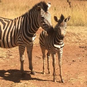 ajpp_zebra